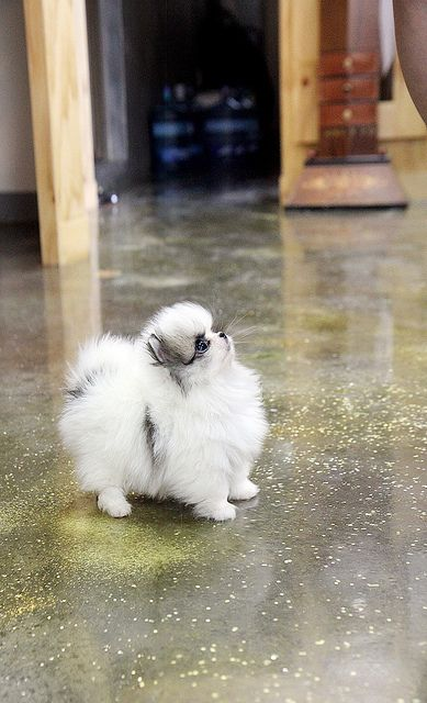 a teacup pomeranian puppy