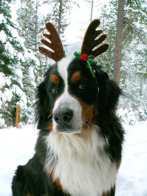 Adorable Bernese Mountain Dog With Deer Horn