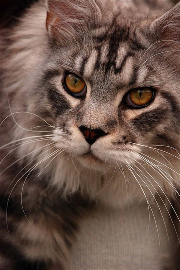 Beautiful Markings Of Maine Coon Cats