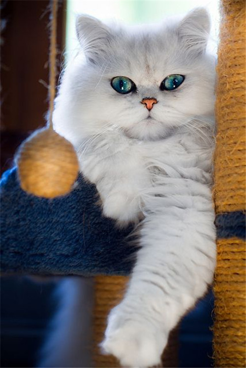 Beautiful White Persian Cat