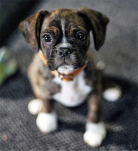 Boxer Dog Puppy So Cute