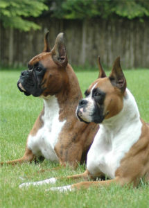 Can You Import Dogs With Cropped Ears