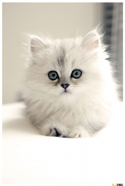 Cute Blue Persian Cat Kitten