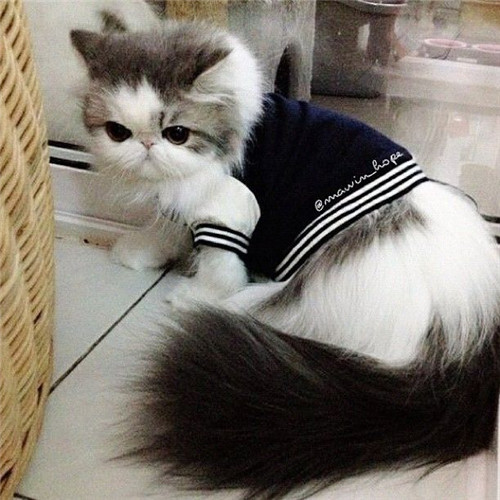 Cute Persian Kitten With Cool Vest