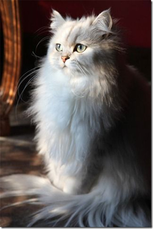 No.5 Cute White Persian Cat