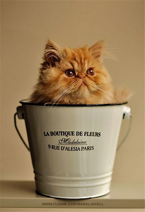 Huge Yellow Teacup Persian Cat