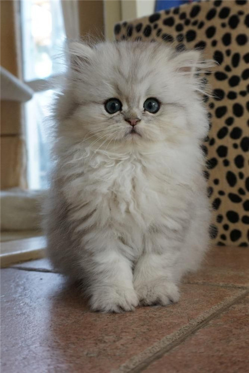 Lovely Gray Persian Kitten