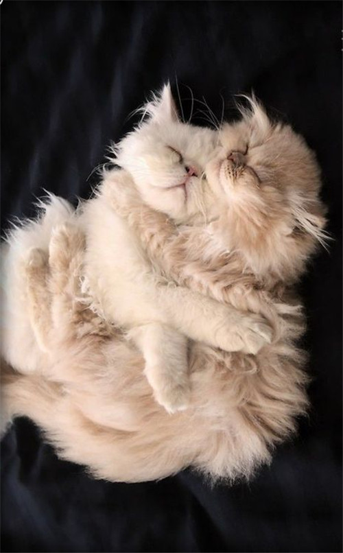 Orange Persian Cat Brothers