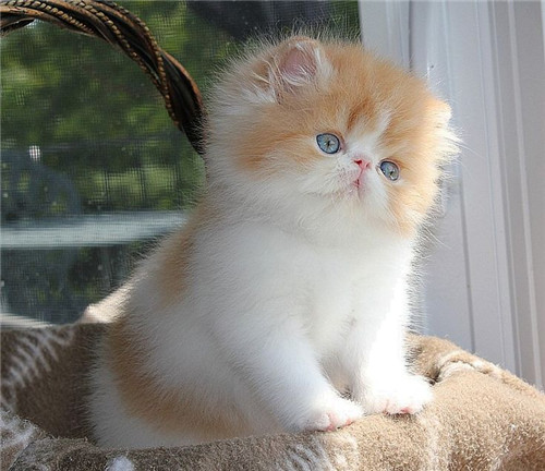 Orange White Kitten