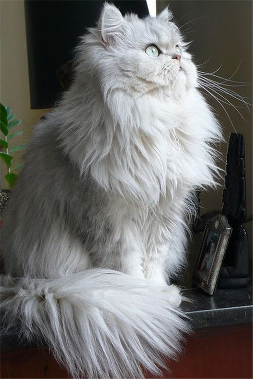 Persian Cat With Long Hair