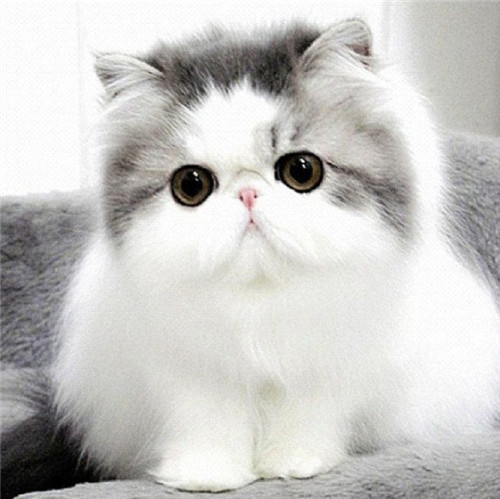 Persian Doll Face Cat