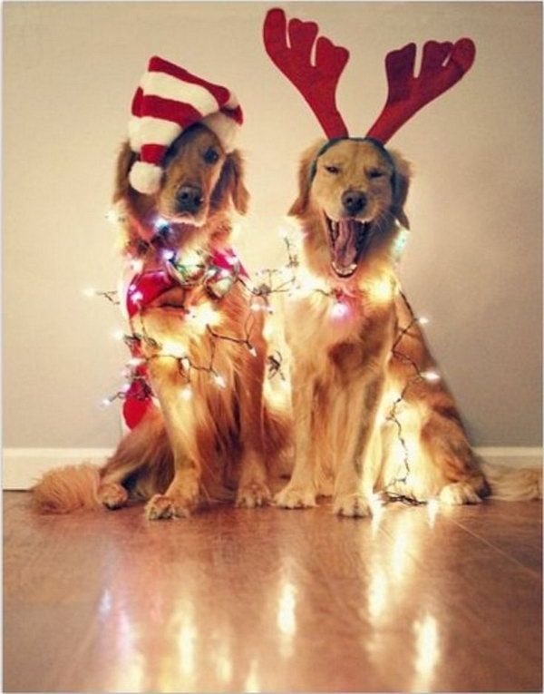 Playful Golden Retrievers With Chritmas Decorations