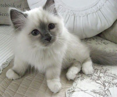 Super Cute Ragdoll Kitten