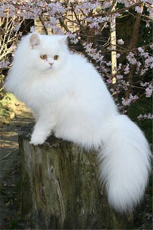 White Persian Cat Standing On A Trunk