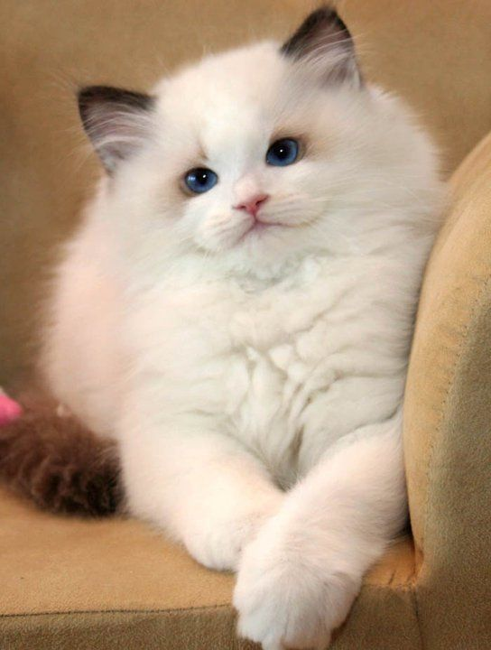 white-ragdoll-cat-sweet-face