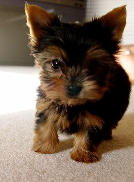 yorkshire terrier miniature