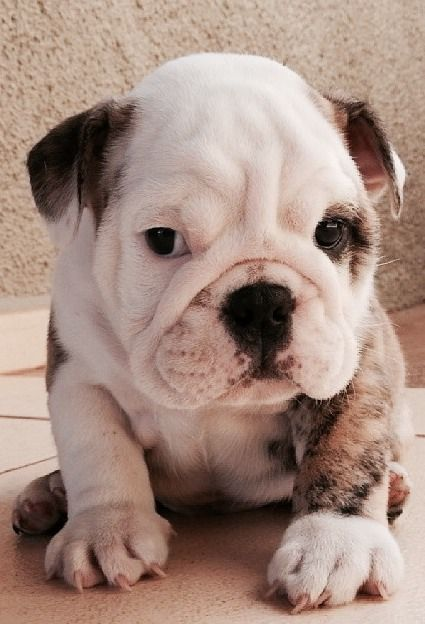 Adorable english bulldog puppy