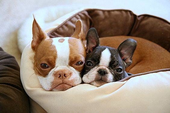 Awwww Boston terriers that look almost just like my two