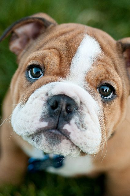 Awwww-what-an-adorable-english-bulldog-puppy