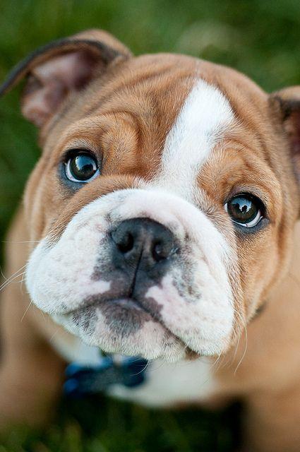 Awwww-what-an-adorable-english-bulldog-puppy
