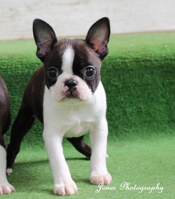 Boston Terrier Dogs For Sale