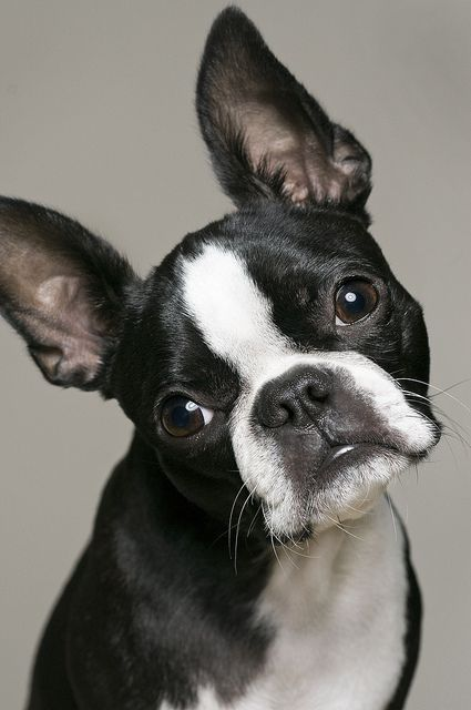 Boston Terrier is a very loving little pet