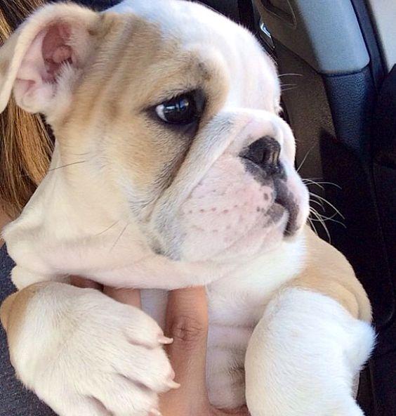 English Bulldog puppy Sooo Cute
