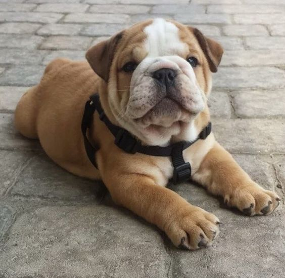 20+ English Bulldog Puppies And Facts You Should Know