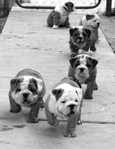 English-bulldog-pups....-Love-them