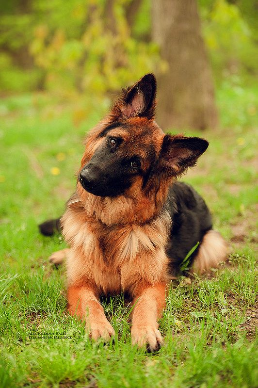 german-sheppard-dog