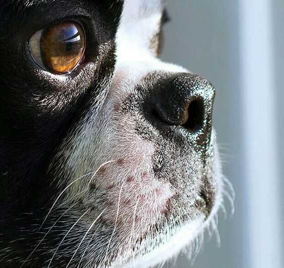 nothing like the love of a boston terrier