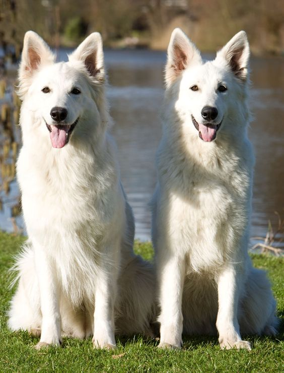 White-German-Shepherd-Dog