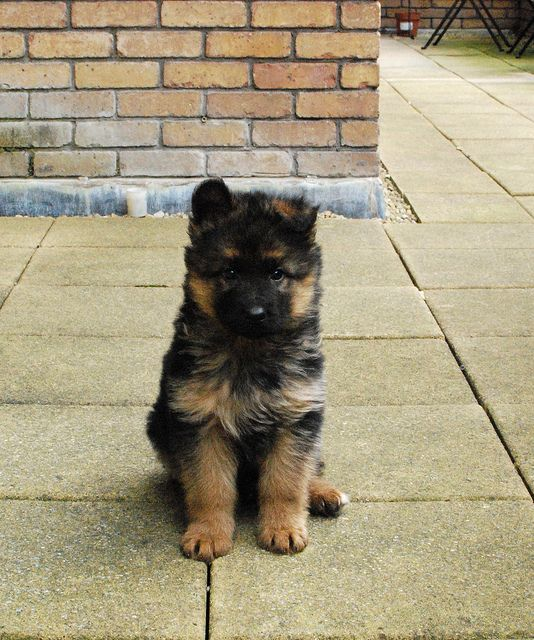 puppy german shepherd. the ears! So cute!