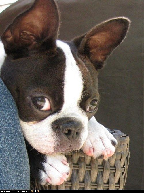 we had a Boston Terrier that looked just like this and it was the only dog I ever loved