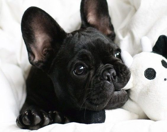 French Bulldog Small Puppy Picture Dog Breeds Picture