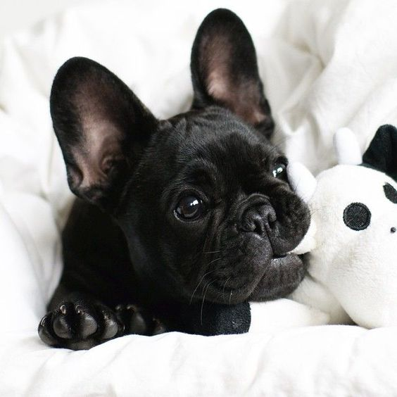 All Black French Bulldog puppy.