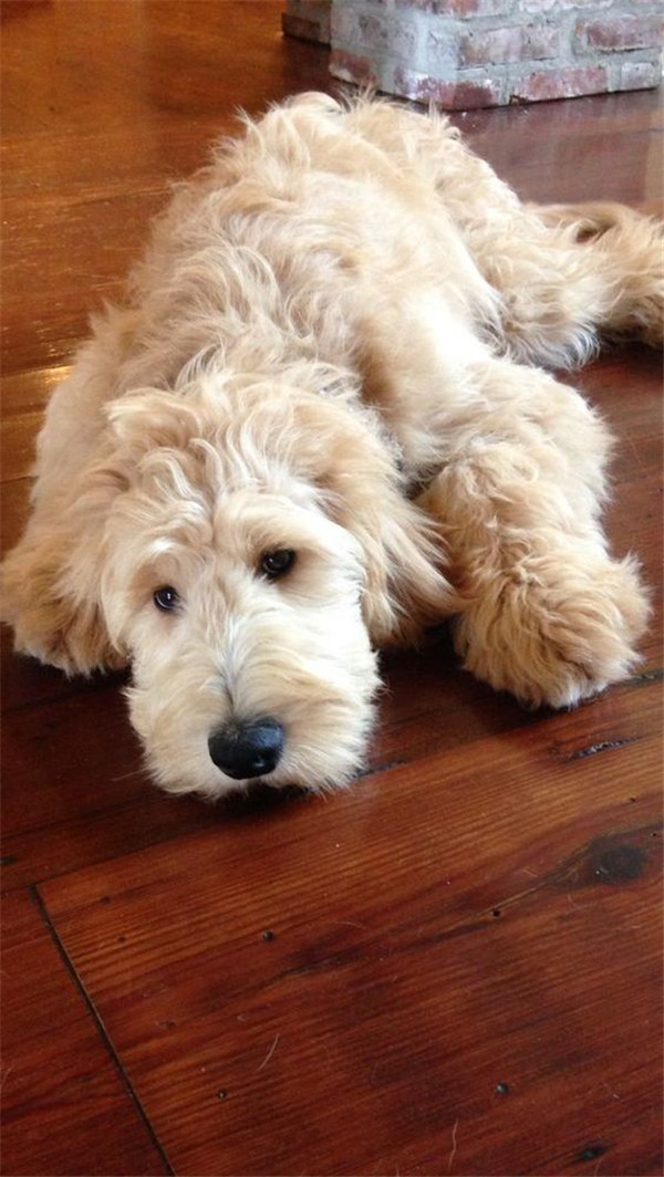 Cute Labradoodles dog