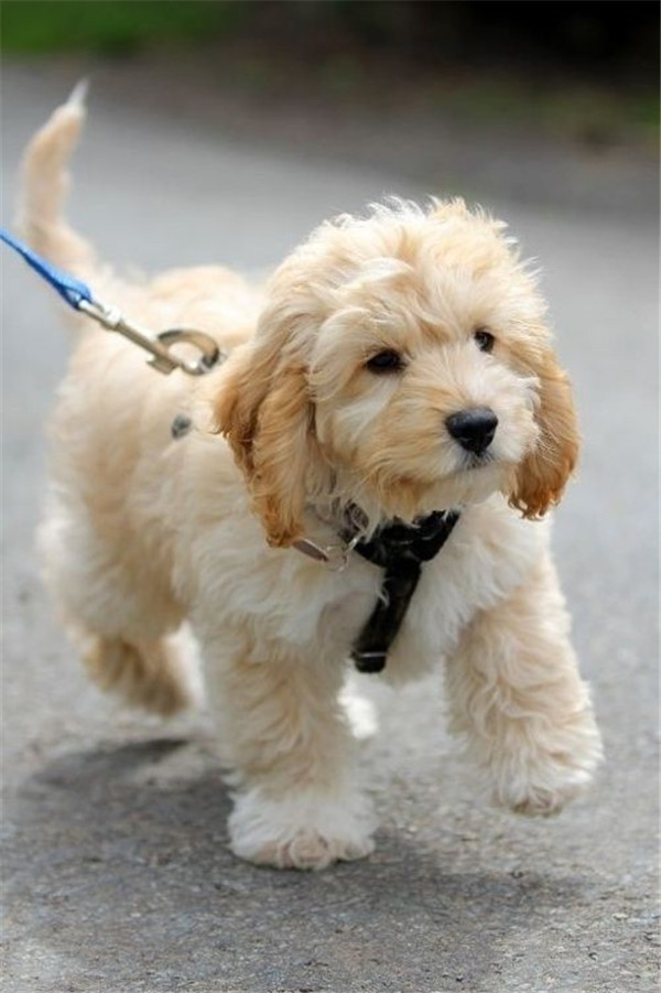 Cutest Labradoodles Puppies! Wonderful