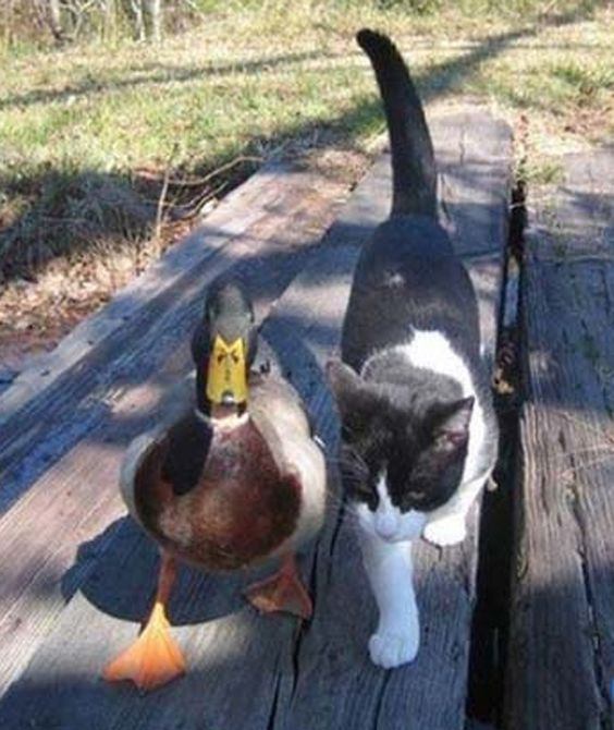 duck-and-cat