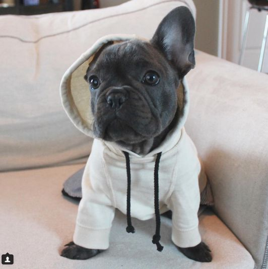 funny french bulldog puppy