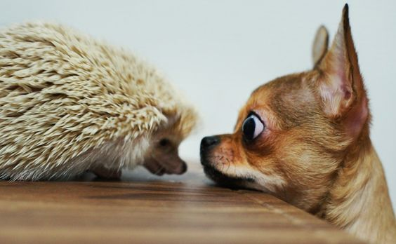 funny hedgehog and dog pictures