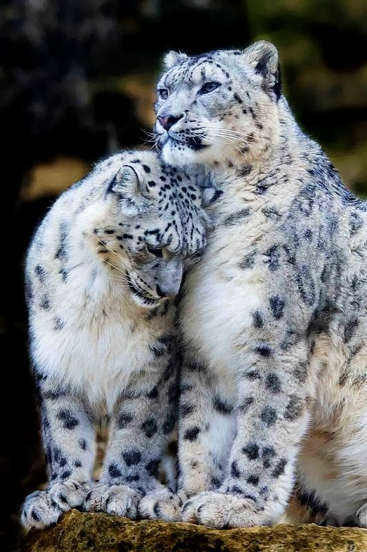 snow leopard couples