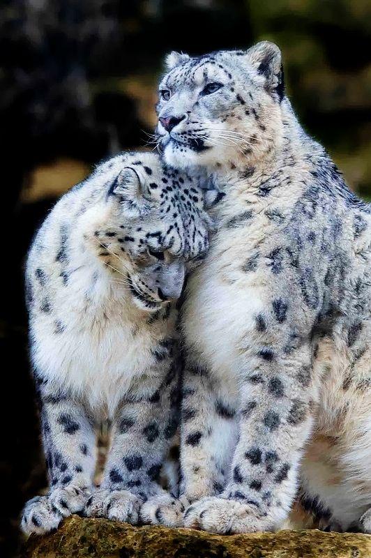 snow leopard couples