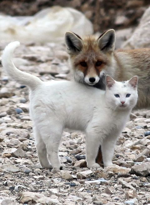 the fox and the van cat are best friends