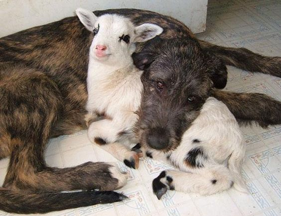 the grin on the goats face just about did me in the sweetness is too much