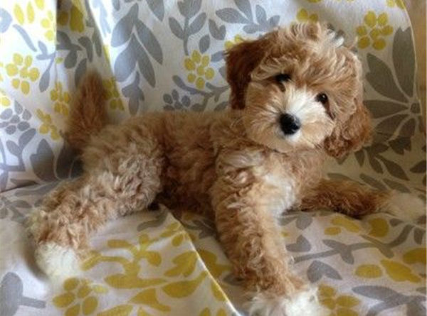 cutest labradoodle puppy ever