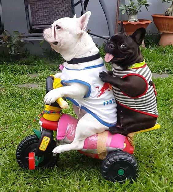 frenchbulldog hitching a ride