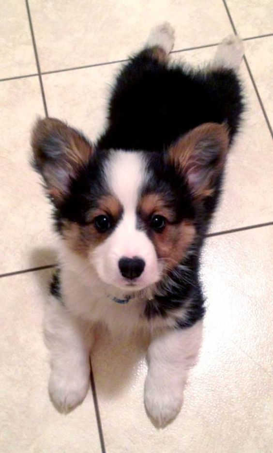 adorable-corgi-puppy