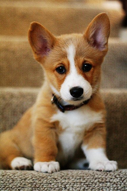 corgi-puppies-are-so-adorable-that-little-face-could-steal-some-hearts