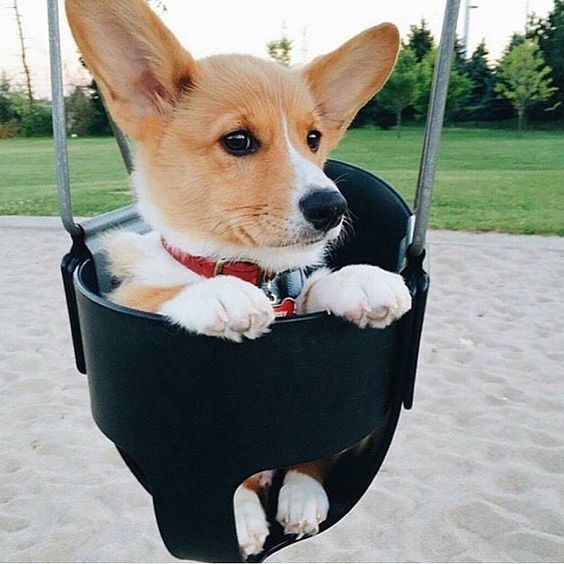 funny-corgi-in-a-swing